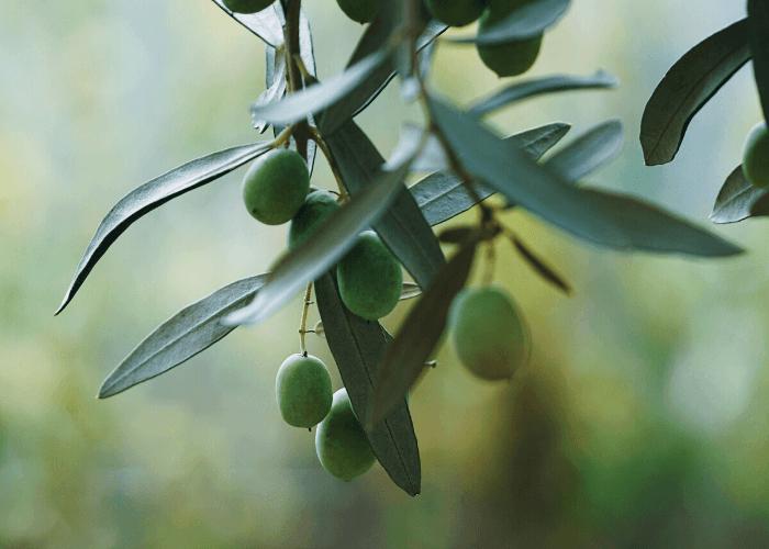 """Muitas pessoas se perguntam: """"azeitona é fruta ou legume?"""", por isso resolvemos tirar esta e outras dúvidas neste artigo sobre azeitonas e algumas frutas que são consideradas leguminosas"""