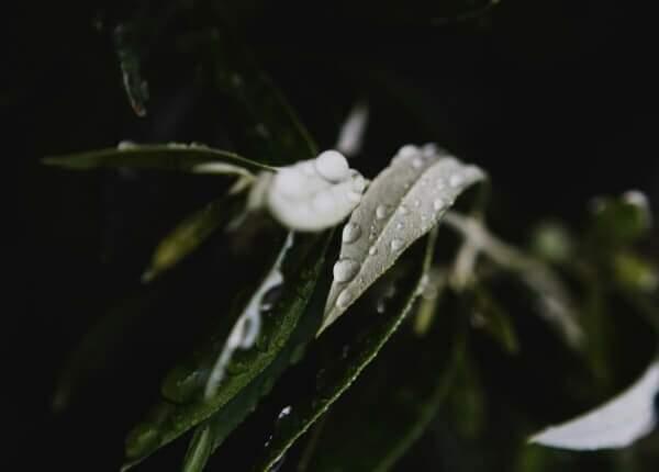 As folhas são a matéria-prima do Extrato de Oliveira Olibi.